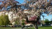Прага весной. Розовая вишня